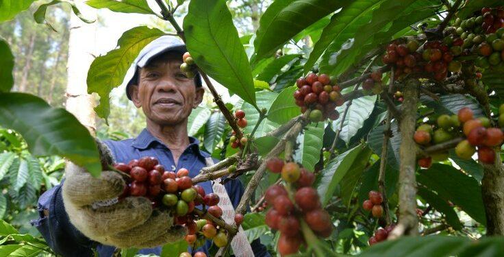 @GunawanAB via Twenty20 Intip Komoditi Utama Ekspor Indonesia Ini - coffee farmers are picking red coffee red picked coffee will produce perfect coffee beans t20 noG7Ln 736x375 - Intip Komoditi Utama Ekspor Indonesia Ini